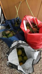 Sacks of Mangoes Fresh Plucked